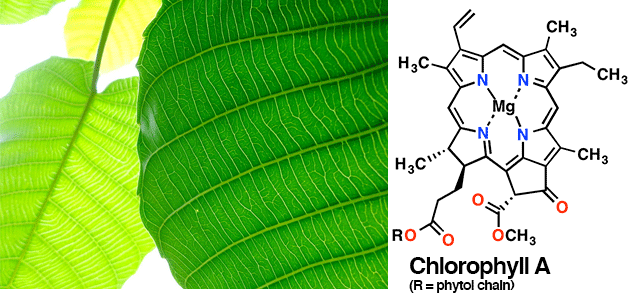 16-chlorophyll